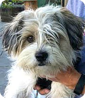 Havanese/Terrier (Unknown Type, Small) Mix Dog for adoption in Boulder, Colorado - Dakota-ADOPTION PENDING