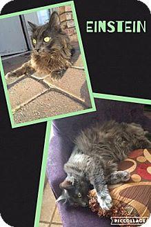 Domestic Longhair Cat for adoption in Scottsdale, Arizona - Einstein