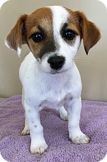 Jack Russell Terrier/Beagle Mix Puppy for adoption in Gahanna, Ohio - ADOPTED!!!   Paisley