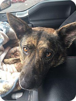 German Shepherd Dog Mix Dog for adoption in Greeneville, Tennessee - Tamsen