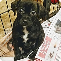 Adopt A Pet :: Grant(ADOPTED!) - Chicago, IL