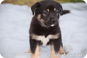 Spaniel (Unknown Type)/Shepherd (Unknown Type) Mix Puppy for adoption in Rosamond, California - Doc Holiday