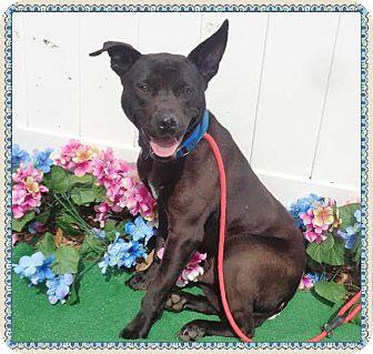 Shepherd (Unknown Type) Mix Dog for adoption in Marietta, Georgia - BOSLEY