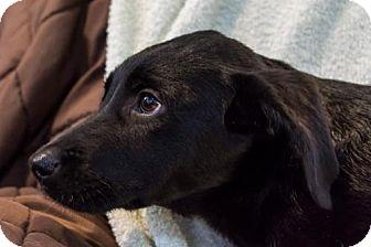 Labrador Retriever Mix Puppy for adoption in Marlton, New Jersey - Rita