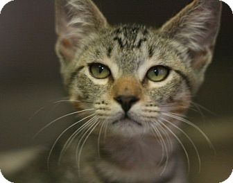 Domestic Shorthair Kitten for adoption in Canoga Park, California - Juicy Fruit