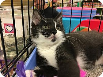 Domestic Shorthair Kitten for adoption in Wilmore, Kentucky - Marcus