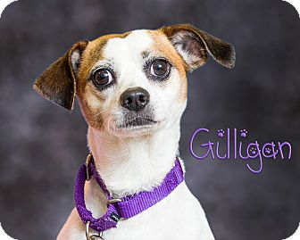 Jack Russell Terrier/Beagle Mix Dog for adoption in Somerset, Pennsylvania - Gilligan