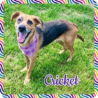 German Shepherd Dog/Labrador Retriever Mix Dog for adoption in Jasper, Indiana - Cricket