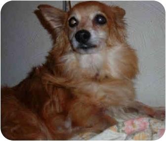 Pomeranian/Sheltie, Shetland Sheepdog Mix Dog for adoption in Overland Park, Kansas - Stella