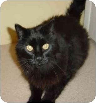 Domestic Longhair Cat for adoption in Yorba Linda, California - Lucas