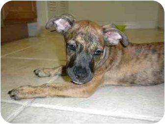Hound (Unknown Type)/Boxer Mix Puppy for adoption in Palm Bay, Florida - Chief