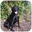 Photo 1 - Labrador Retriever Mix Dog for adoption in Austin, Minnesota - Libby