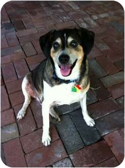Beagle/Terrier (Unknown Type, Medium) Mix Dog for adoption in Indianapolis, Indiana - Mr Bump Magoo - BLIND