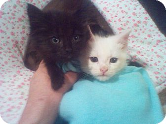 Domestic Longhair Kitten for adoption in Harrisburg, North Carolina - Peepers and Jeepers