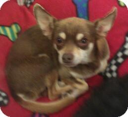 Chihuahua Dog for adoption in Phoenix, Arizona - Todd