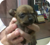 Chihuahua Mix Puppy for adoption in St. Petersburg, Florida - Ringo