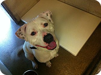American Pit Bull Terrier Mix Dog for adoption in Naugatuck, Connecticut - Buddy