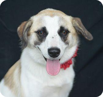 Collie/Shepherd (Unknown Type) Mix Dog for adoption in Plano, Texas - Mia