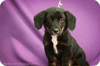 Shepherd (Unknown Type) Mix Puppy for adoption in Broomfield, Colorado - Kai