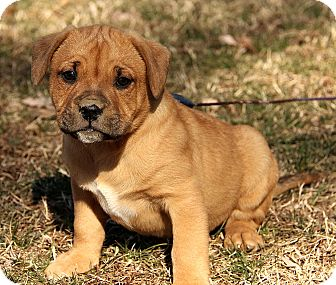 Boxer/Labrador Retriever Mix Puppy for adoption in Spring Valley, New York - Brinkley