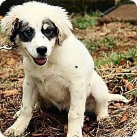 Adopt A Pet :: Adelaide - Staunton, VA