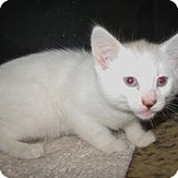 Adopt A Pet :: Antonette - Shelton, WA