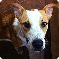 Adopt A Pet :: Darci - Austin, TX