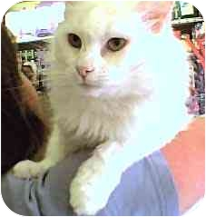 Domestic Longhair Cat for adoption in Rolling Hills Estates, California - Prancer