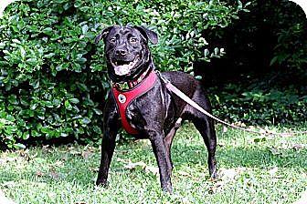 Labrador Retriever/American Bulldog Mix Dog for adoption in nashville, Tennessee - True