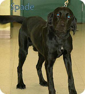 Labrador Retriever Mix Dog for adoption in Lewisburg, West Virginia - Spade