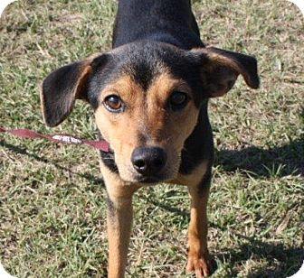 Hound (Unknown Type) Mix Puppy for adoption in Warren, Arkansas - Sonny