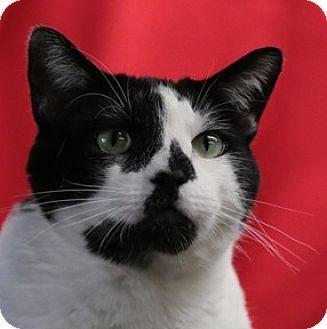 Domestic Shorthair Cat for adoption in Calgary, Alberta - Jeremiah