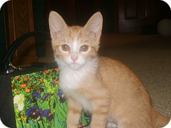 Domestic Shorthair Kitten for adoption in Parkville, Missouri - Olive