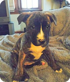 American Pit Bull Terrier/Labrador Retriever Mix Puppy for adoption in Youngstown, Ohio - Allie ~ Adoption Pending