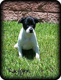 Boston Terrier/Terrier (Unknown Type, Small) Mix Puppy for adoption in Walker, Louisiana - Raylynn