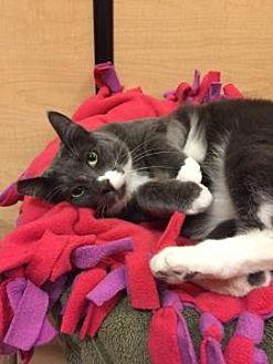 Domestic Shorthair Cat for adoption in San Jose, California - GAP-Bella