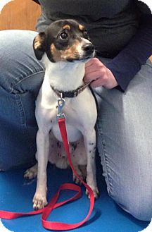 Jack Russell Terrier/Rat Terrier Mix Dog for adoption in Newburgh, Indiana - Mack