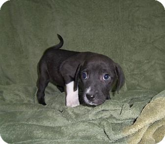 Beagle/Border Collie Mix Puppy for adoption in Greenville, Kentucky - MERTLE