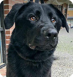 "Flat-Coated Retriever/Labrador Retriever Mix Dog for adoption in Seattle, Washington - ""Marshall"""