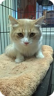 Domestic Mediumhair Cat for adoption in Westminster, California - Herb