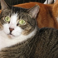 Domestic Shorthair Cat for adoption in oakland park, Florida - Henry