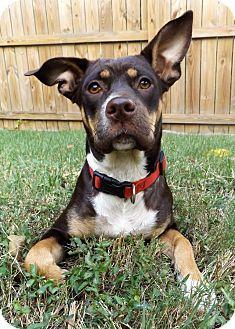 Doberman Pinscher/Labrador Retriever Mix Dog for adoption in Chicago, Illinois - Gia