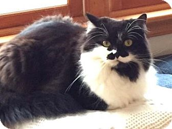 Domestic Longhair Cat for adoption in Harrisonburg, Virginia - Middy
