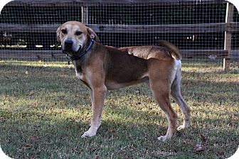 Shepherd (Unknown Type)/Hound (Unknown Type) Mix Dog for adoption in Charlotte, North Carolina - PJ