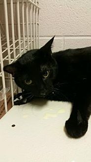 Domestic Mediumhair Cat for adoption in Anderson, Indiana - Panther