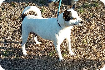 Boston Terrier Mix Dog for adoption in Carthage, North Carolina - Holly