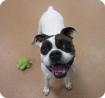 Boxer/Bulldog Mix Dog for adoption in Norwalk, Connecticut - Peter