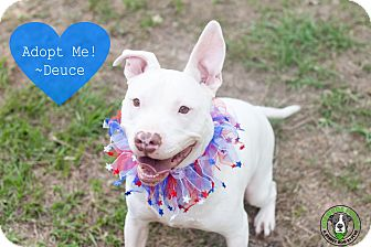 American Pit Bull Terrier Mix Dog for adoption in Vancouver, British Columbia - Deuce