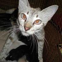 Siamese Cat for adoption in Austin, Texas - *MARIA