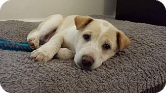 Labrador Retriever/Cattle Dog Mix Puppy for adoption in Brookeville, Maryland - Bernard